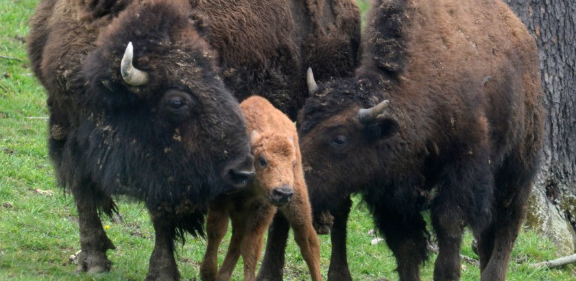 A newborn bison calf is between the mother and another bison  at  South Park. The ÒcalfÓ was born shortly after 1pm in the woods of the South Park Game Preserve Monday afternoon. (Darrell Sapp/Post-Gazette)