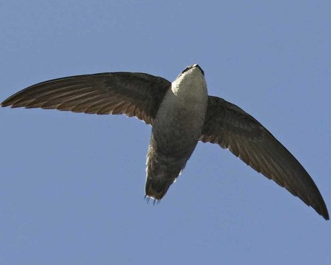 flying chimney swift slider