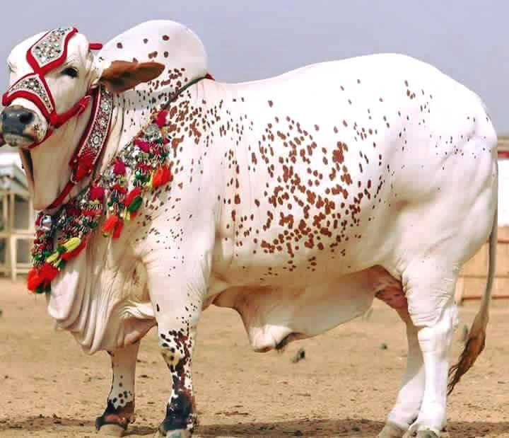 Beautiful Wallpapers With Quotes In Hindi Funny Bakra Sms Eid Wallpapers Amp Pics Newsmsfree