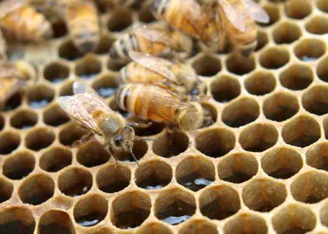 Bienen füllen die Honigwaben. © Wirths PR / Neuseelandhaus