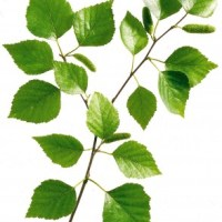Die besten Pflanzensäfte bei Rheuma