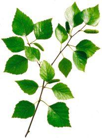 Birkenblätter steigern die Harnbildung ohne die Nieren zu reizen. © Wirths PR / Schoenenberger