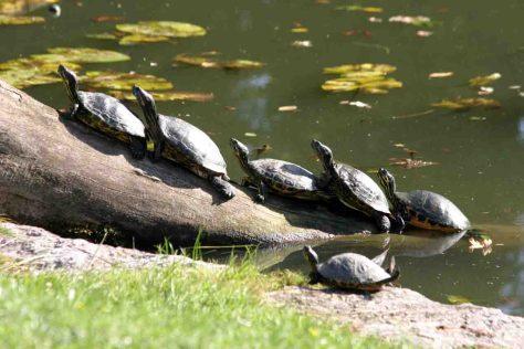 Schildkröten im Botanischen Garten. Foto: Dr. Thomas Mauersberg/Uni Bonn