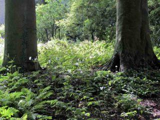 Lichter Waldbereich mit Staudenunterpflanzung. Foto: LWL/Siekmann