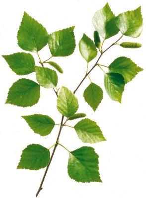 In der Naturheilkunde werden Birkenblätter bei Harnstein- und Nierengrießbildung und auch bei Gicht und Wassersucht empfohlen. Foto: Wirths PR / Schoenenberger