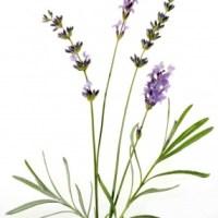 Lavendel - Inhaltsstoffe und Wirkung