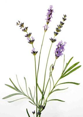 Lavendel Foto: Wirths PR
