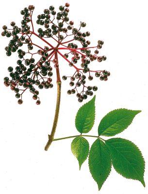 Wegen seiner Inhaltsstoffe und gleichzeitig leicht herben Note werden die Beeren in oft in Früchtetees eingesetzt.  Foto: Wirths PR / Schoenenberger