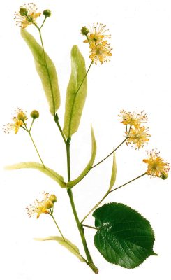 Sowohl die Sommerlinde, als auch die Winterlinde liefern die wertvollen Blüten. Foto: Wirths PR
