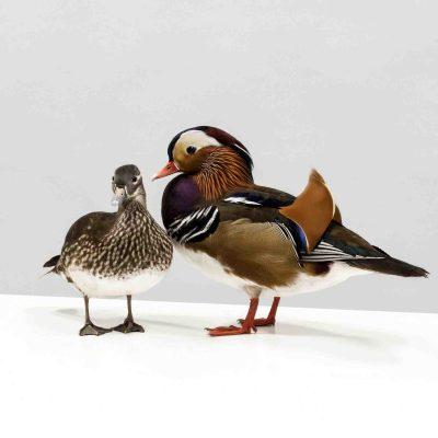 Damit die Weibchen das Männchen als Paarungspartner erwählen, müssen sich in der Vogelwelt die Männchen bunt schmücken, wie hier das Entenmännchen vor macht. Foto: LWL/Oblonczyk
