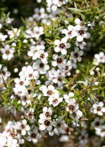 Aus der Südseemyrte Manuka wird wertvolles Öl gewonnen. © neuseelandhaus.de / Wirths PR