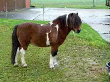 Für dieses und zwei weitere Ponys sucht der Kreis Borken ein neues Zuhause. Foto: Kreis Borken