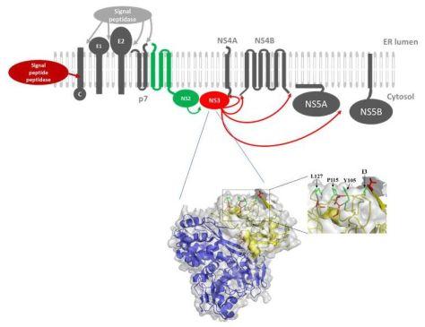 HCV Polyprotein und dessen Prozessierung zu funktionellen Bausteinen (oben), NS3 Struktur mit den identifizierten regulatorischen Aminosäuren (unten; Abb.: Tautz et al.) Foto: Uni Lübeck