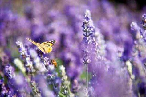 Lavendel wird seit Jahrtausenden wegen seiner wohltuenden und gesundheitsfördernden Wirkung geschätzt.Foto: obs/© PRIMAVERA LIFE