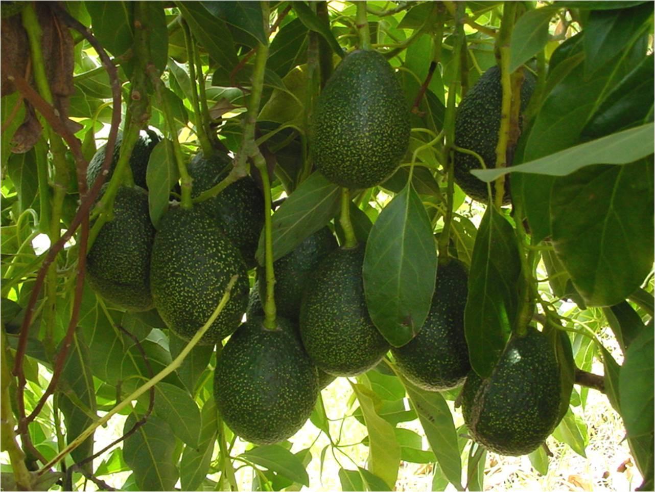 Fullsize Of Dwarf Avocado Tree