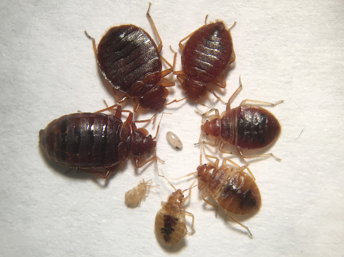 Images Of Bed Bugs Pests Wildlife Response To Bed Bugs Panic Vs Reasonable