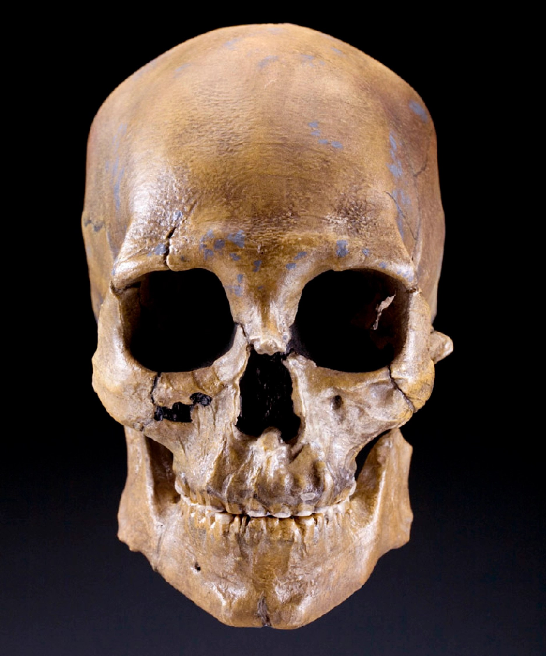 Human Skull Kennewick Man Skeletal Find May Revolutionalize Continent