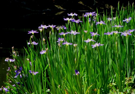 Irises For Sale Australia