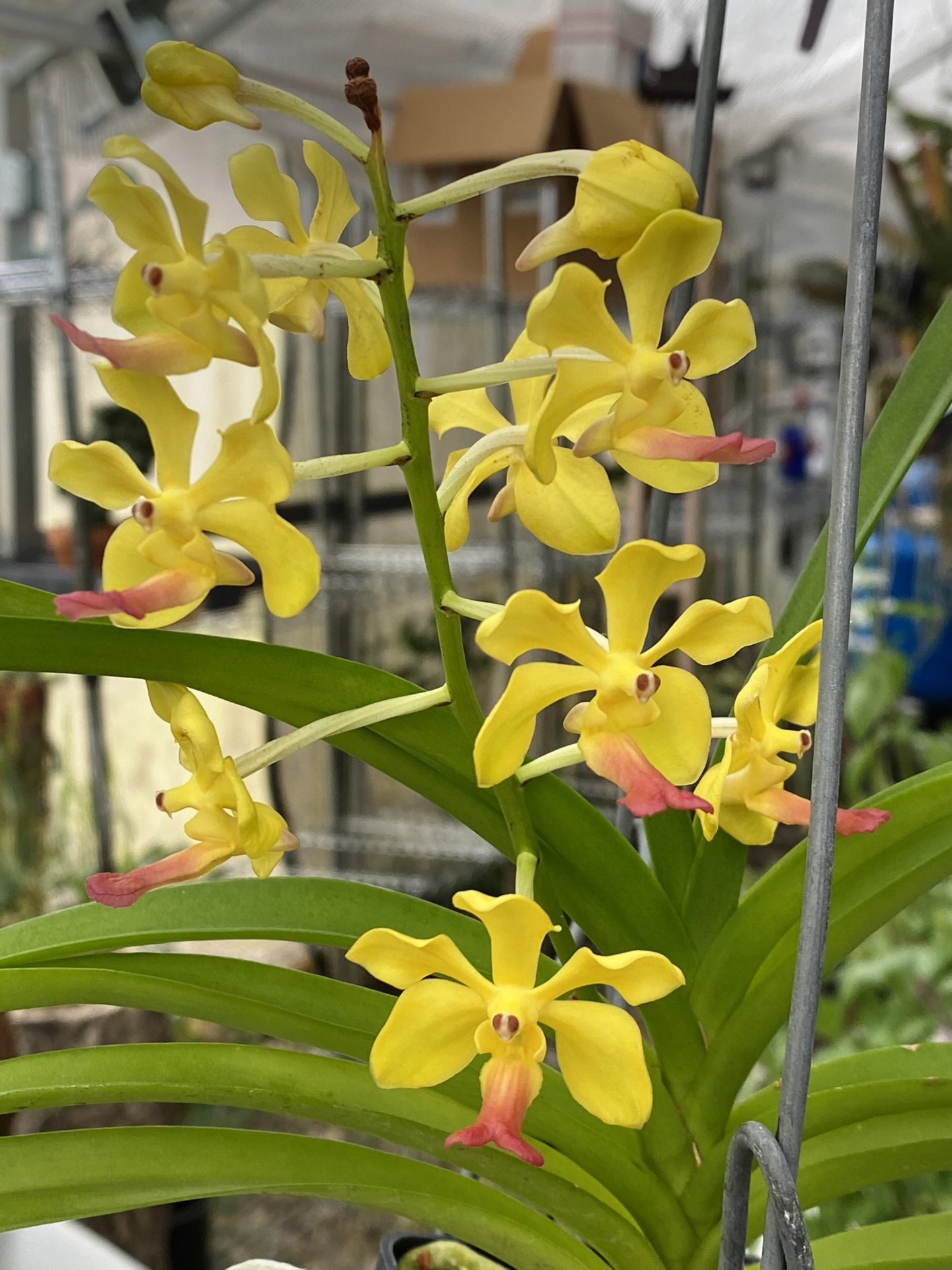 Vanda Charles Marden Fitch New World Orchids