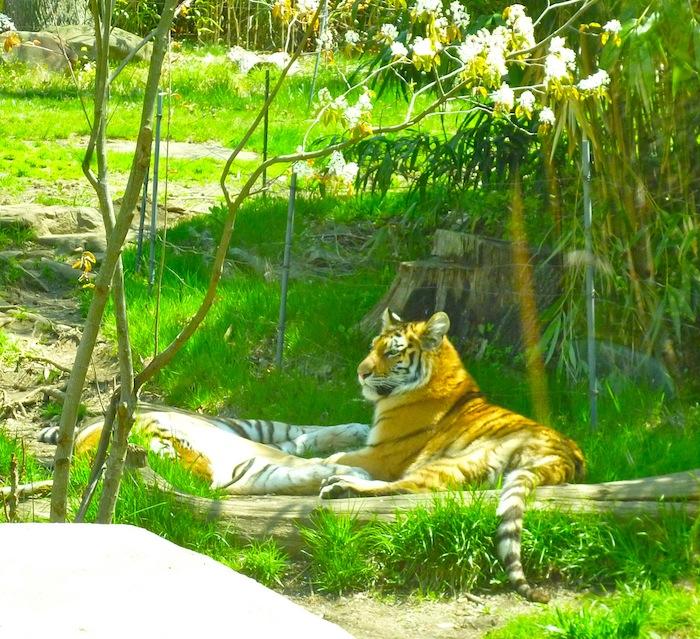 tigers Bronx Zoo