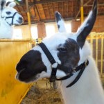 Llamas have so much attitude. These guys just look too cool for state fairs. No wonder their cousin Joe Camel was used to sell cigarettes to kids.
