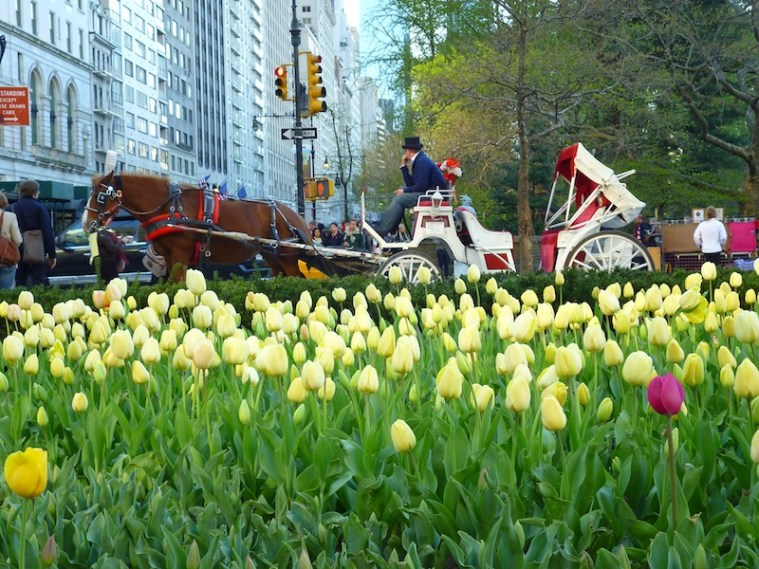central park tulip