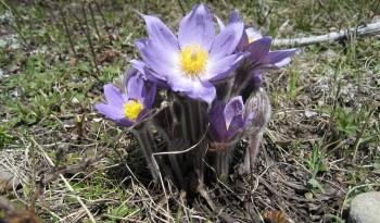 Pasqueflower or Prairie Crocus
