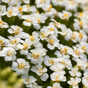yarrow-uses
