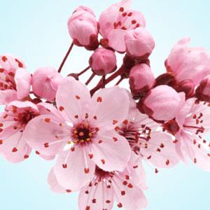 Japanese Cherry Blossom Fragrance Oil Natures Garden Fragrance Oils Floralscent Fragranceoils Japanesecherryblossom Sjablonen Ideeen