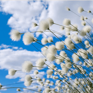 NG Cotton and Blossoms Fragrance Oil