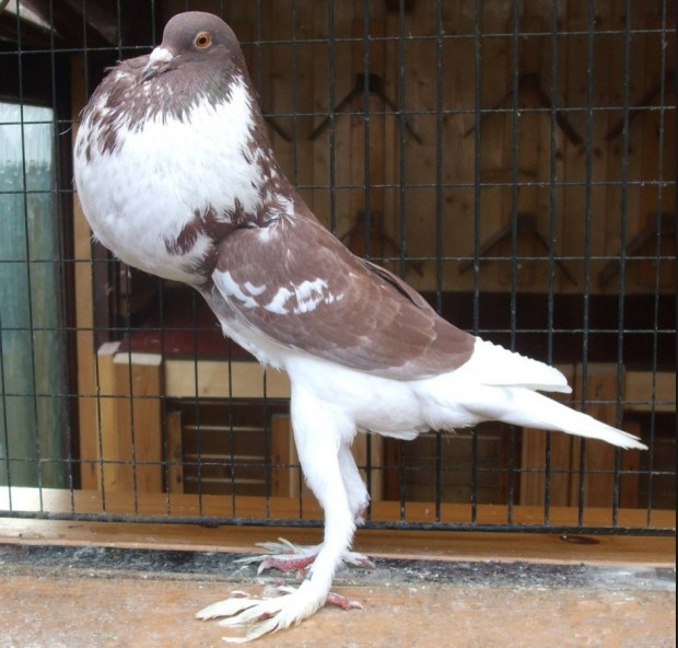 English Pouter Pigeon