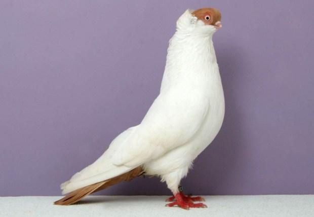 Polish Helmet Pigeon