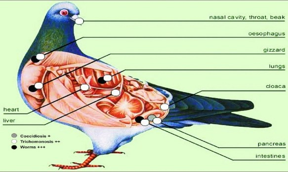 pigeon diseases and treatment pdf
