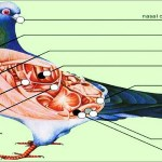 Pigeon Diseases Symptoms and Treatment