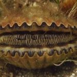 Low number of bay scallops raise concern; workshops scheduled May 24 and June 13