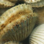 Bay scallop season in St. Joseph Bay opens Aug. 22 with bag limit changes