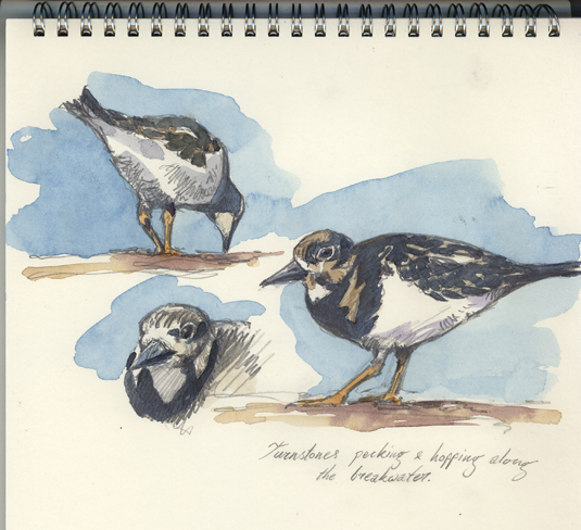 Turnstones sketch