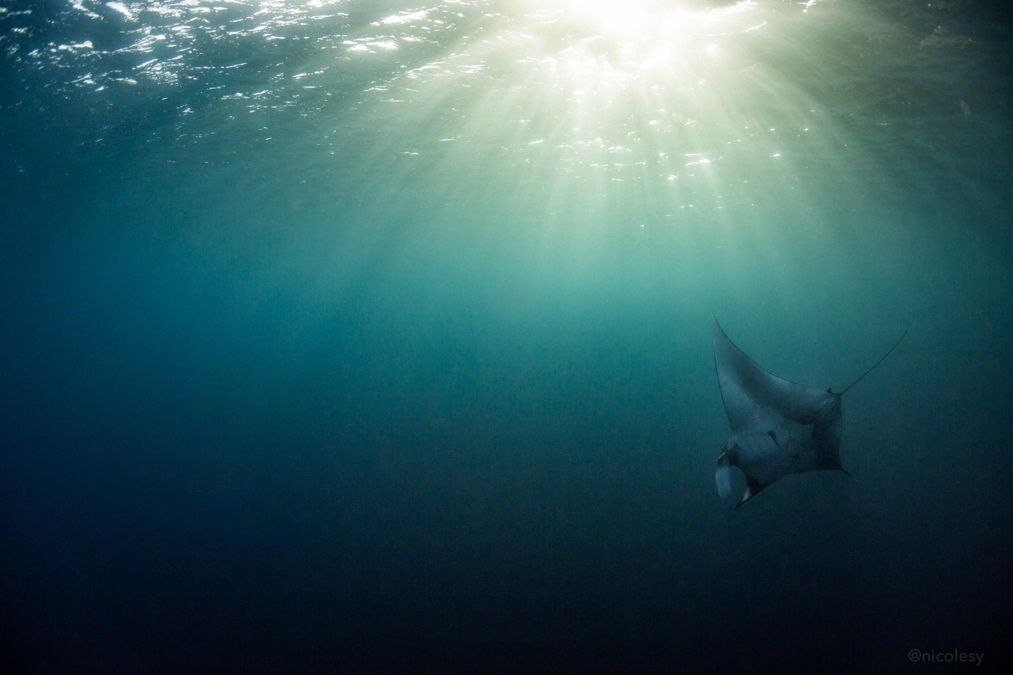 Giant Manta Ray, Socorro Islands, Mexico