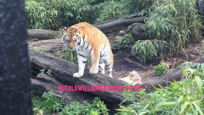 Zookeeper Killed At UK Zoo By Tiger It's Been Confirmed!