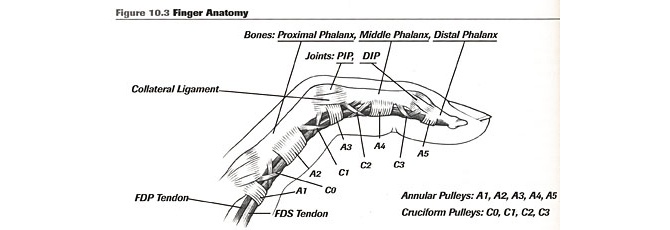 index finger diagram