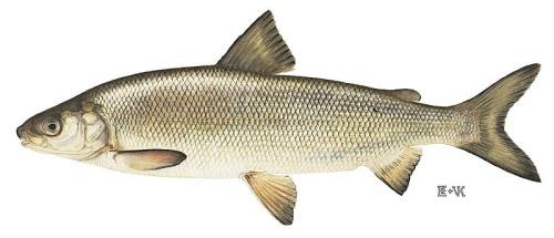 great-lakes-whitefish