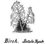 hubbard-birch-tree