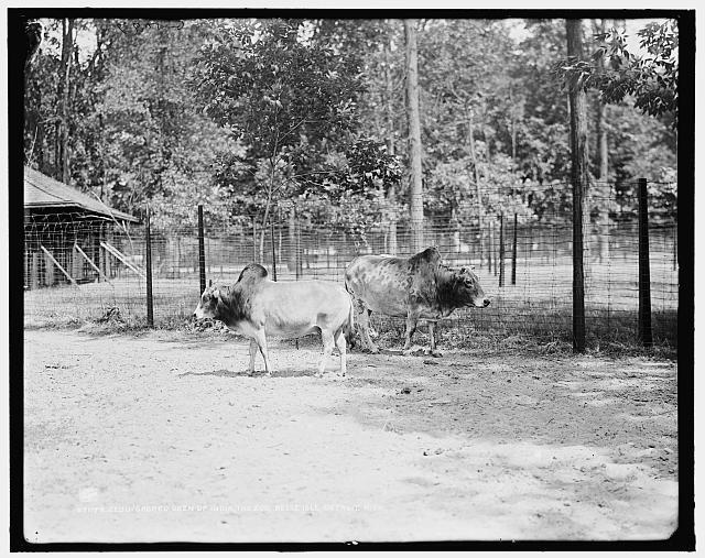 sacred-oxen