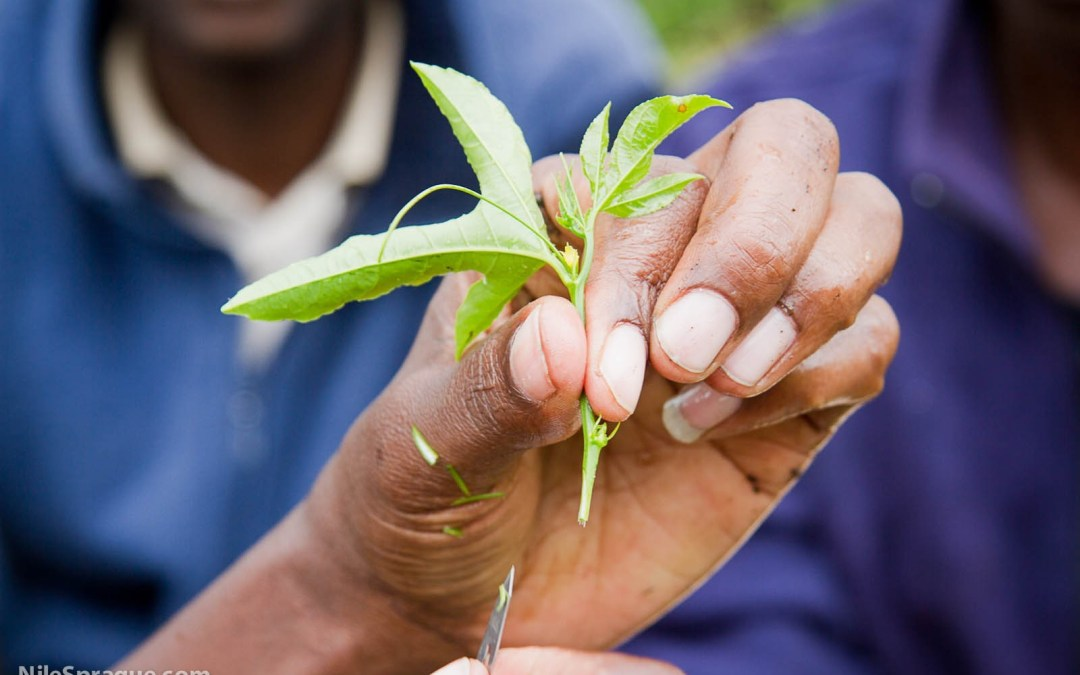 Photo: Man holding passion fruit seedling at grafting training, Tiret Self-Help Group passion fruit farmers, Project Nurture, Tiret, Kenya.