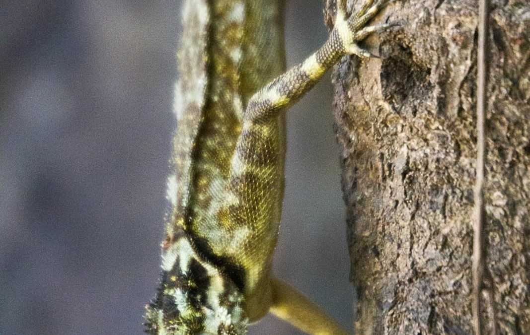 Poisonous Gecko on tree in Amazon jungle, near Iquitos, Peru