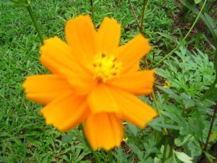 Cosmos.. Bunga Kenikir Yang Mencerahkan Hari (2/4)