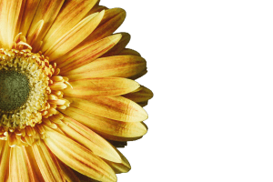 2017-01-08-Yellow Flower-trans background