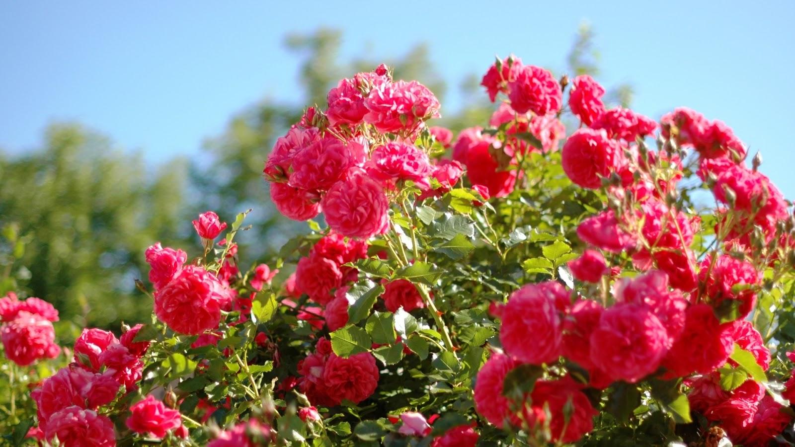 Pink Rose Garden Wallpaper beautiful rose garden wallpaper - home design ideas