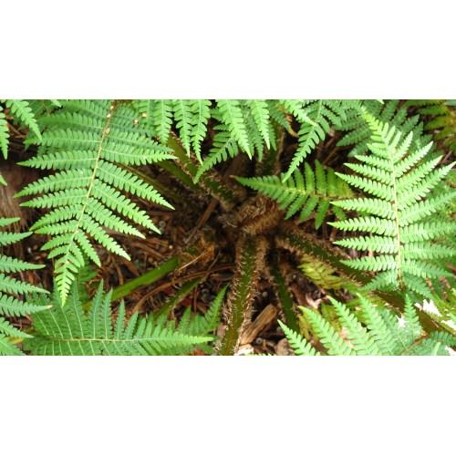Medium Crop Of Australian Tree Fern