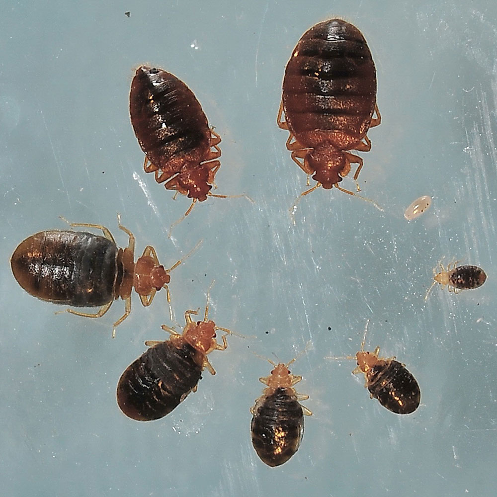 Images Of Bed Bugs Bed Bug Photos Rutgers Njaes